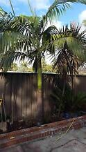 Free Palm trees Croydon Burwood Area Preview