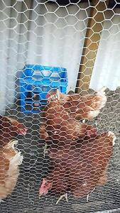 chickens for sale Bentley Canning Area Preview