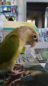 Baby Pet Green Cheek Conure Southport Gold Coast City Preview