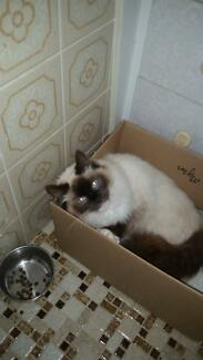 Ragdoll Kittens Tenterfield Tenterfield Area Preview