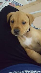 9 week female puppy Mastiff x Ridgeback Baldivis Rockingham Area Preview