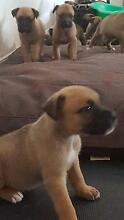 boxer cross german sheppard puppies 9 boys 3 girls Bellmere Caboolture Area Preview