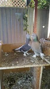 Pigeons Turkish for sale Moorebank Liverpool Area Preview