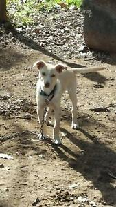 Working pup for sale Cooplacurripa Greater Taree Area Preview