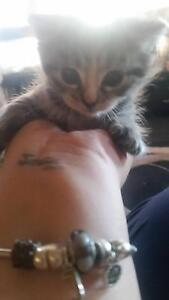 E.O.I short hair domestic kitten George Town George Town Area Preview