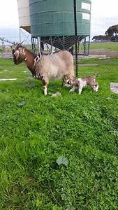 Baby cahsmere goats Bannockburn Golden Plains Preview