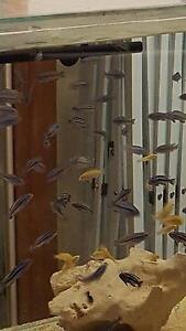 maingano Cichlids Emu Heights Penrith Area Preview