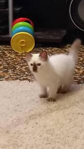 Ragdoll kitten Bacchus Marsh Moorabool Area Preview