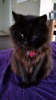 Gorgeous 5 year old female Cat