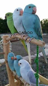 Tame Indian Ringneck Parrots Burpengary Caboolture Area Preview