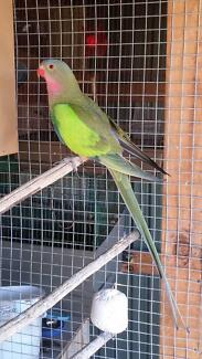 Male Princess Parrot Grovedale Geelong City Preview