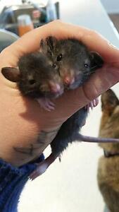 Baby patch work x rats Abbey Busselton Area Preview