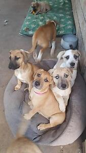 Dane/arab/wolfhound x ridgeback/bloodhound/Kelpie Burpengary Caboolture Area Preview