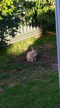 RABBIT - FAMILY FRIENDLY AND VERY CUDDLY Pagewood Botany Bay Area Preview