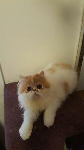 Persian Kittens for Sale Roxburgh Park Hume Area Preview