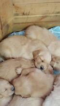 Registered male Golden Retriever puppy available Doreen Nillumbik Area Preview