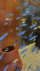 Maingano Cichlids 3cm to  5cm 6 for  $20 Emu Heights Penrith Area Preview