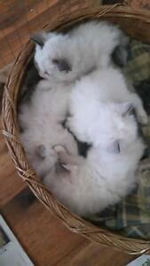 Absoultly beautiful healthy ragdoll babies York York Area Preview