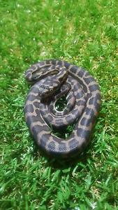 South West Carpet Python Hatchlings Alexander Heights Wanneroo Area Preview
