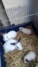 Baby texel guineapigs x 2 Safety Bay Rockingham Area Preview