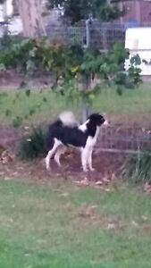 Found boarder collie black and white Coopers Plains Brisbane South West Preview