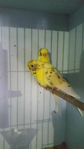 Budgies for Sale Telarah Maitland Area Preview
