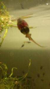 Red eye tree frog tadpoles and frogs Evanston Park Gawler Area Preview