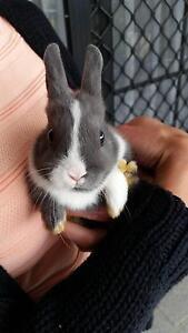 netherland dwarf rabbit Airport West Moonee Valley Preview