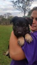 German Shepherd pups papered working line Lowood Somerset Area Preview