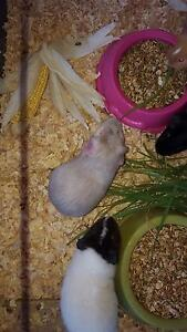 baby guinea pigs for christmas Gosnells Gosnells Area Preview