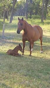 Quarter horse colts  Little Duck / Lectro Lena San and brood mare Armidale Armidale City Preview
