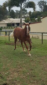 Quarter Horse Colt Jimboomba Logan Area Preview