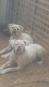 $500 Each 2 Purebred American Bulldogs Male&Female Mandurah Mandurah Area Preview