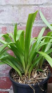 Tuberose. Pot Plants, Flowers, Succulents, Trees Brunswick Moreland Area Preview