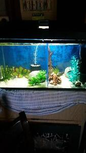 Fighter fish set up Deception Bay Caboolture Area Preview