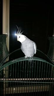 LOST- GREY AND WHITE COCKATIEL Rutherford Maitland Area Preview