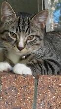 Male kitten 4 moths old Upper Coomera Gold Coast North Preview