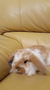 Cute Mini Lop Ear Rabbit Sefton Bankstown Area Preview