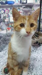 Gorgeous Ginger Male Kitten Beaumaris Bayside Area Preview