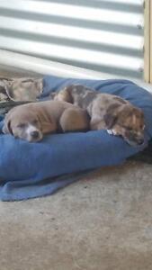 dane mastiff pups Waroona Waroona Area Preview