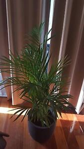 Golden Cane Palm with pot for sale Mosman Mosman Area Preview