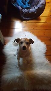 Gorgeous trained mature Jack Russel who likes to act like a puppy Hawthorn East Boroondara Area Preview