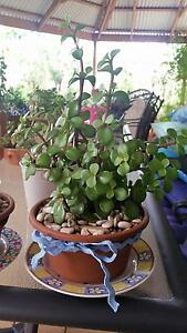 Decorative Pots and Plants Madeley Wanneroo Area Preview