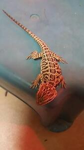 Beautiful bearded Dragon Dysart Isaac Area Preview