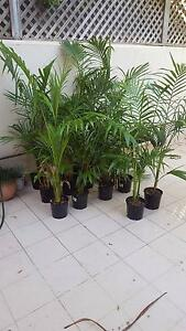15 x Palm Trees - $20 each or $250 for all - Pick up Crows Nest Crows Nest North Sydney Area Preview