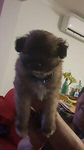 German Spitz/toy poodle Hamlyn Terrace Wyong Area Preview