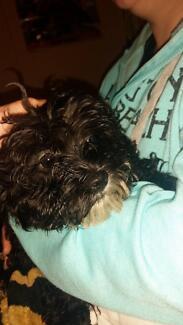 Maltese x Poodle puppies Leeton Leeton Area Preview