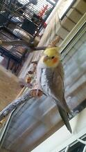 LOST COCKATIEL Caboolture Caboolture Area Preview