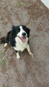 Border Collie North Ward Townsville City Preview
