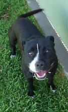 PUREBRED STAFFY MALE RESCUE Moree Moree Plains Preview